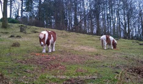 Shetland ponies at Grizedale