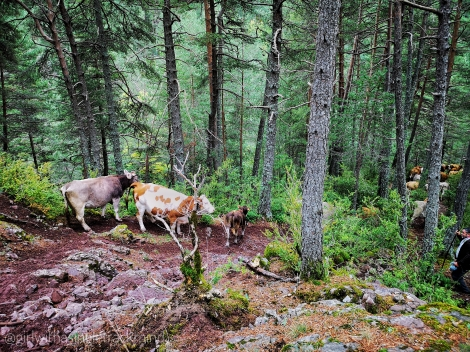 Cows on Gallinero trail, Pyrennes